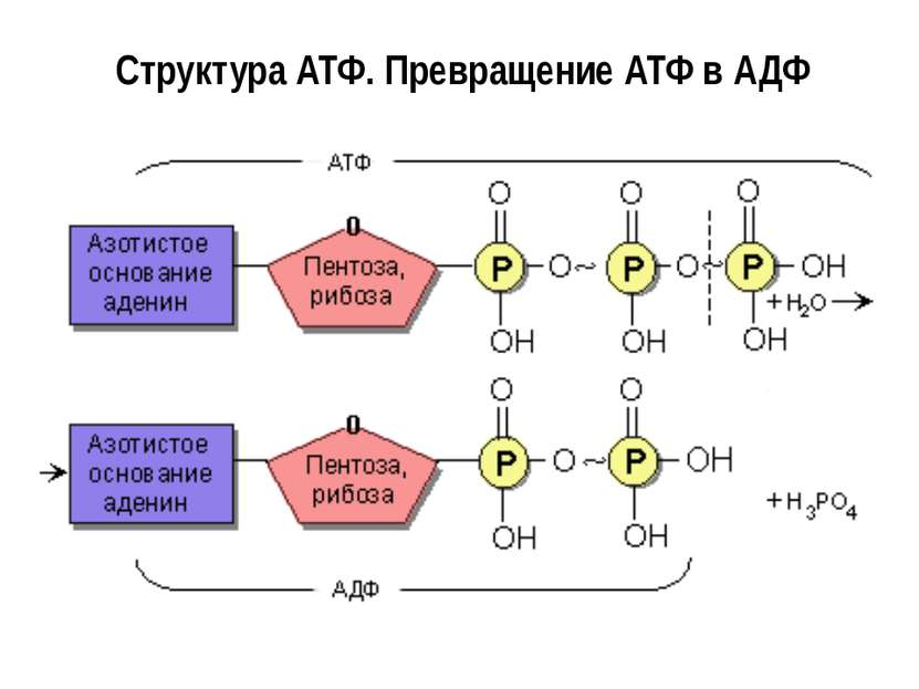 Структура АТФ. Превращение АТФ в АДФ