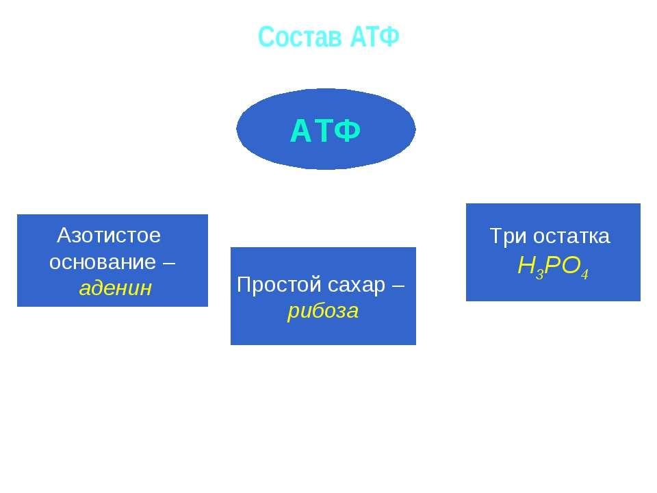 Состав АТФ АТФ Азотистое основание – аденин Простой сахар – рибоза Три остатк...