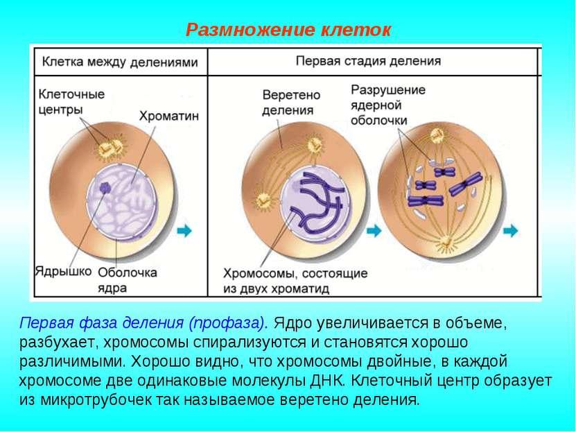 Размножение клеток Первая фаза деления (профаза). Ядро увеличивается в объеме...