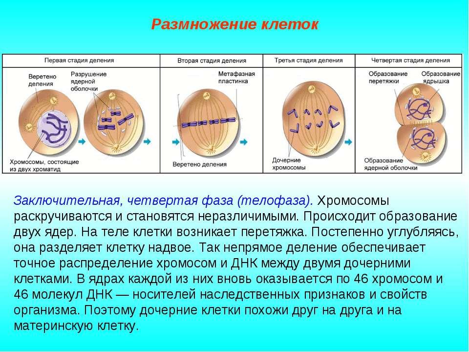 Размножение клеток Заключительная, четвертая фаза (телофаза). Хромосомы раскр...