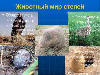 Животный мир степей Степной орел 2.Дрофа 3.Цокор 4.Крот 5.Суслик Раньше в сте...