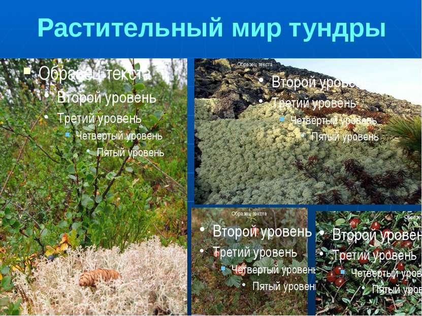 Растительный мир тундры 1.Карликовая береза. Это маленькое деревце по возраст...