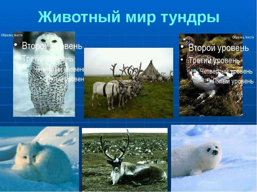 Животный мир тундры 1.Полярная сова 2.Северные олени 3. Белая куропатка 4.Пес...