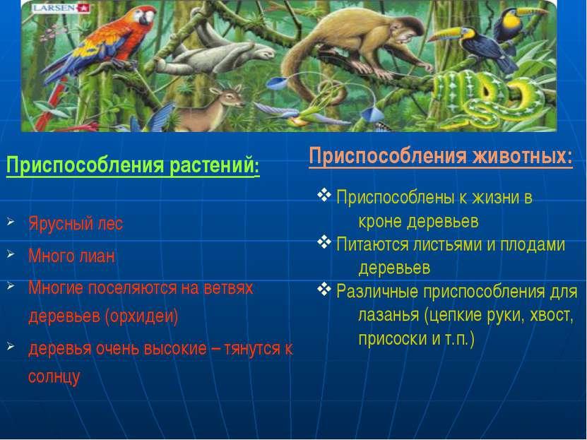Приспособления растений: Ярусный лес Много лиан Многие поселяются на ветвях д...