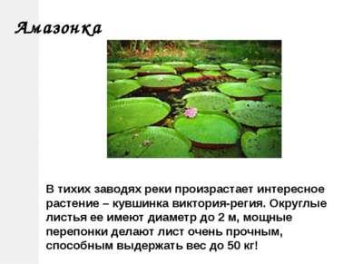 В тихих заводях реки произрастает интересное растение – кувшинка виктория-рег...
