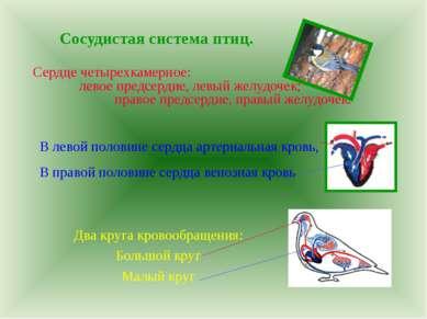 Сосудистая система птиц. Сердце четырехкамерное: левое предсердие, левый желу...