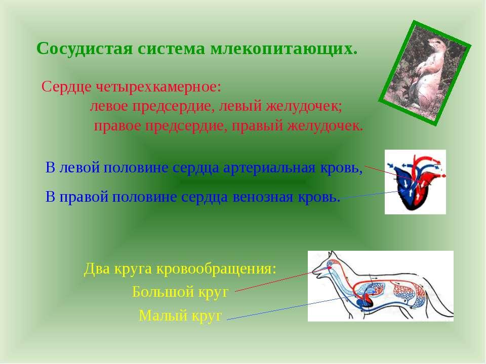 Сосудистая система млекопитающих. Сердце четырехкамерное: левое предсердие, л...
