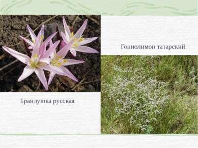 Брандушка русская Гониолимон татарский