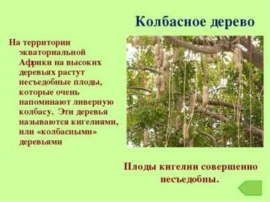 Колбасное дерево На территории экваториальной Африки на высоких деревьях раст...