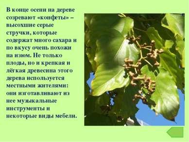 В конце осени на дереве созревают «конфеты» – высохшие серые стручки, которые...