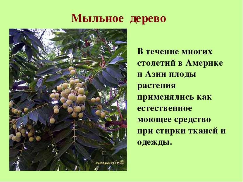 Мыльное дерево В течение многих столетий в Америке и Азии плоды растения прим...
