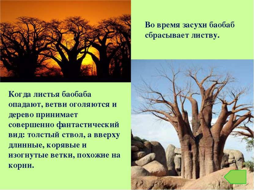 Когда листья баобаба опадают, ветви оголяются и дерево принимает совершенно ф...