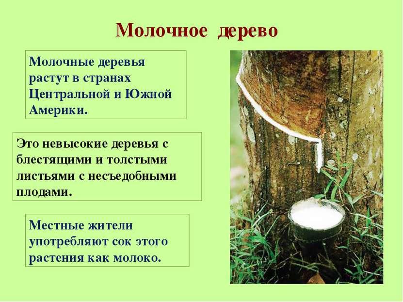 Молочное дерево Молочные деревья растут в странах Центральной и Южной Америки...