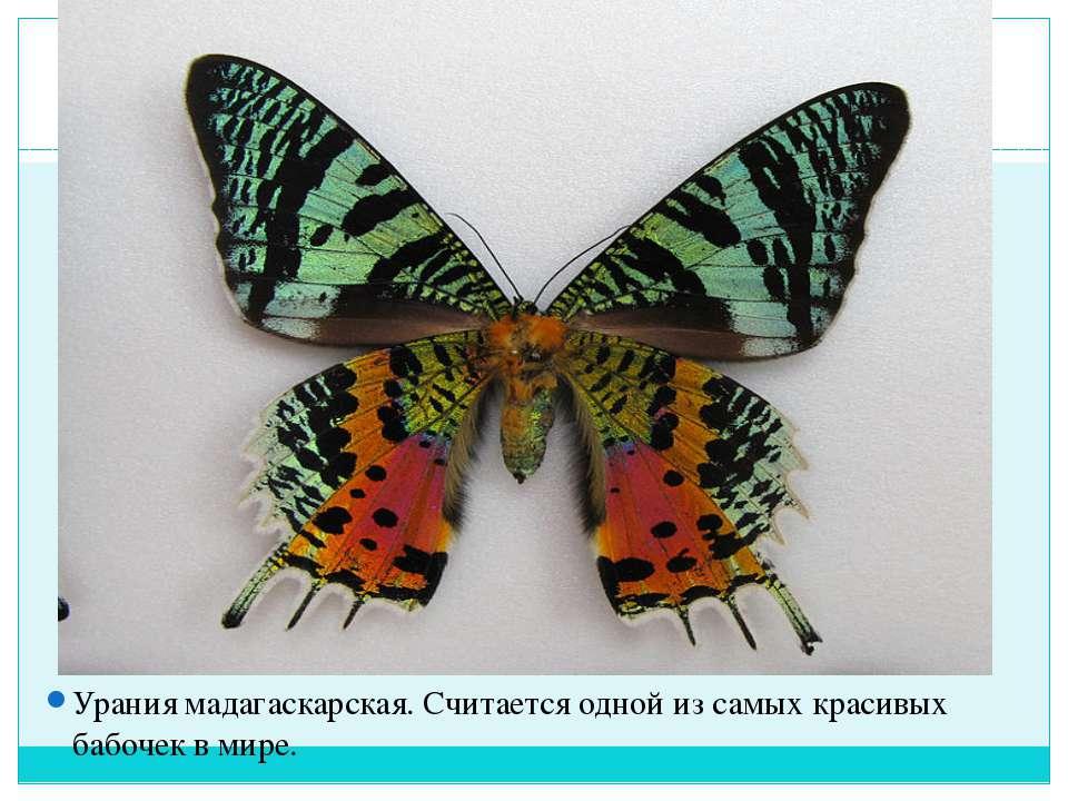 Урания мадагаскарская. Считается одной из самых красивых бабочек в мире.
