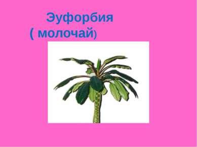 Эуфорбия ( молочай)