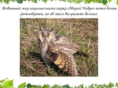 Животный мир национального парка «Марий Чодра» тоже богат и разнообразен, но ...