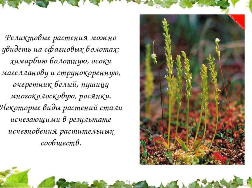 Реликтовые растения можно увидеть на сфагновых болотах: хамарбию болотную, ос...