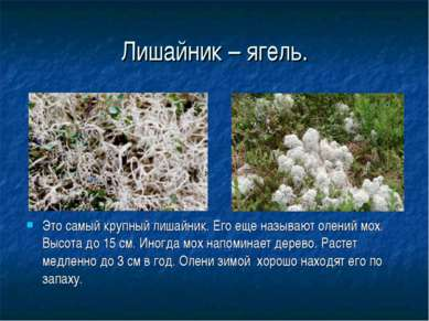 Лишайник – ягель. Это самый крупный лишайник. Его еще называют олений мох. Вы...