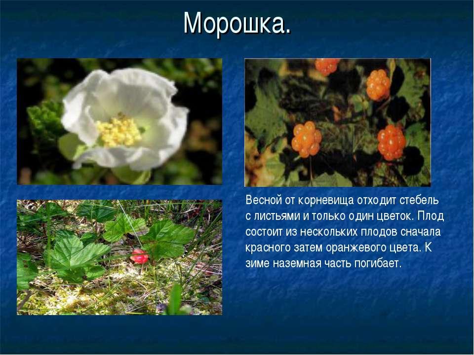 Морошка. Весной от корневища отходит стебель с листьями и только один цветок....