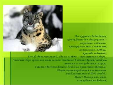 Все крупные виды диких кошек достойны восхищения – стройные, изящные, пропорц...