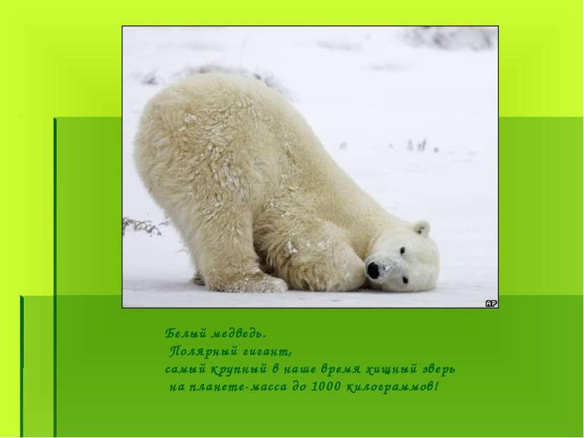 Белый медведь. Полярный гигант, самый крупный в наше время хищный зверь на пл...
