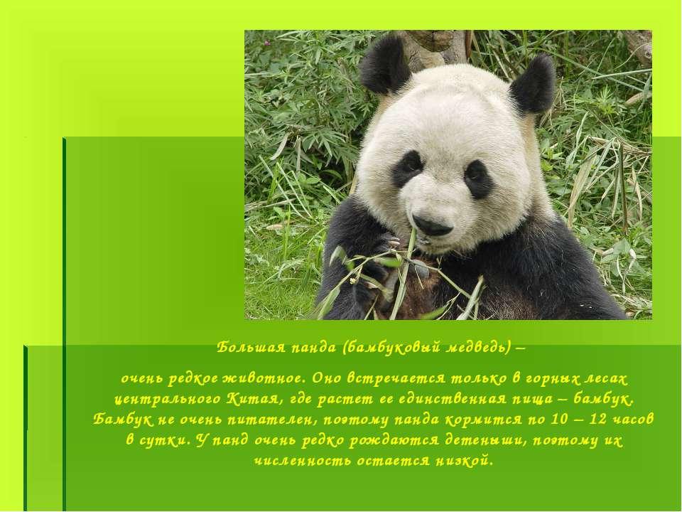 Большая панда (бамбуковый медведь) – очень редкое животное. Оно встречается т...