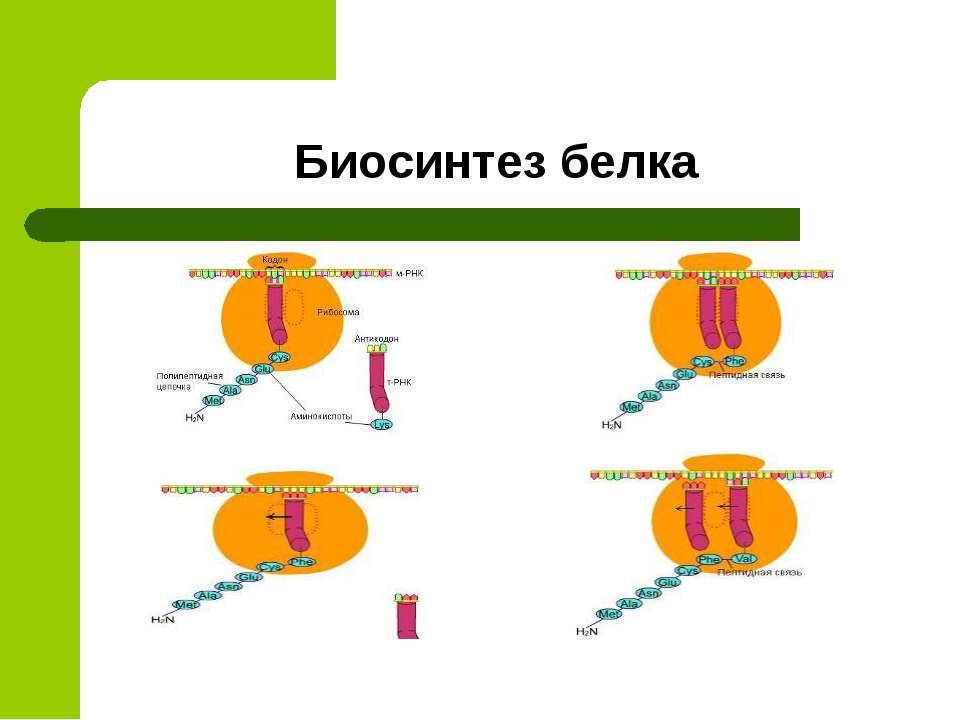 Биосинтез белка