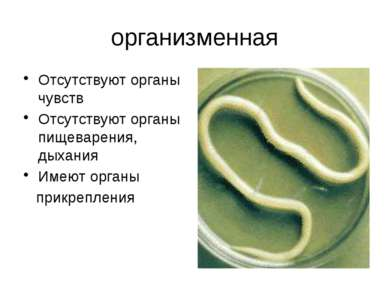 организменная Отсутствуют органы чувств Отсутствуют органы пищеварения, дыхан...