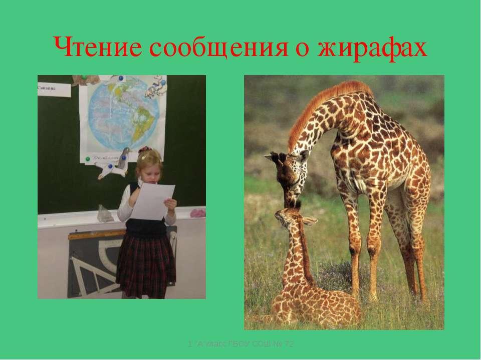 """Чтение сообщения о жирафах 1 """"А""""класс ГБОУ СОШ № 72 1 """"А""""класс ГБОУ СОШ № 72"""