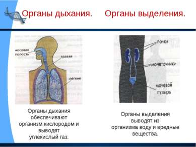 Органы дыхания. Органы выделения. Органы дыхания обеспечивают организм кислор...