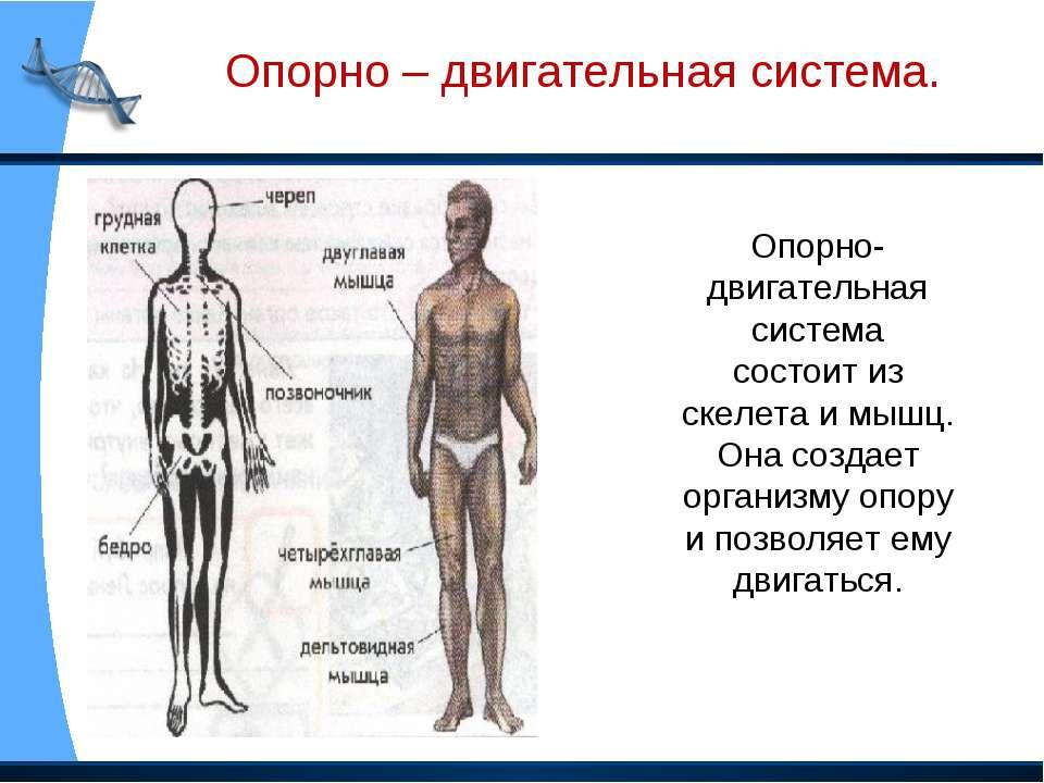 Опорно-двигательная система состоит из скелета и мышц. Она создает организму ...