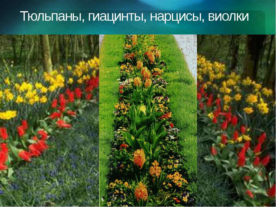 Тюльпаны, гиацинты, нарцисы, виолки