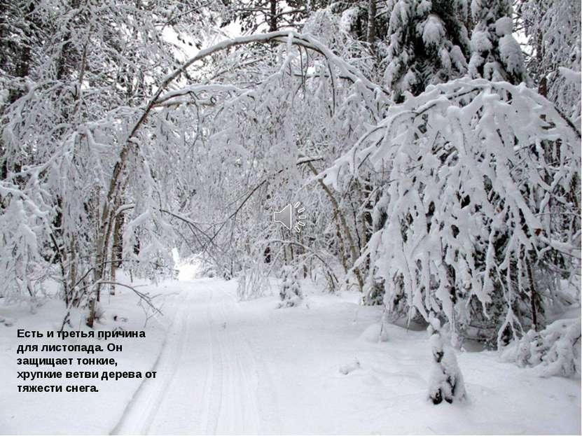 Есть и третья причина для листопада. Он защищает тонкие, хрупкие ветви дерева...