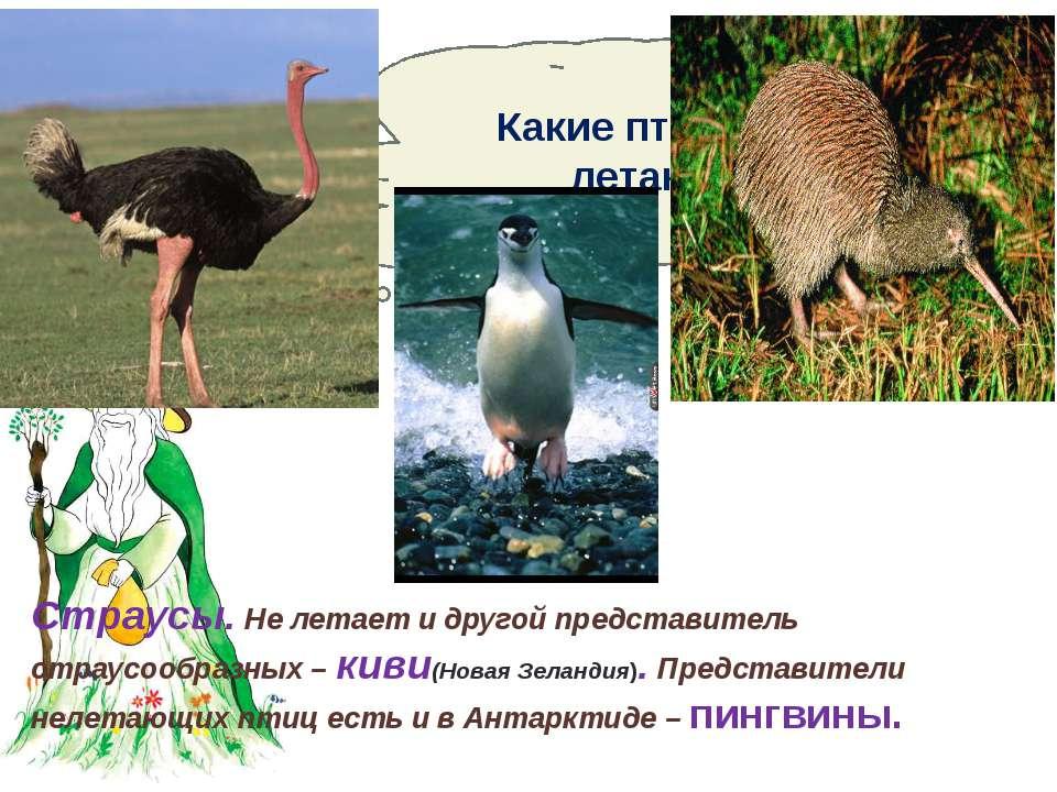 Какие птицы не летают? Страусы. Не летает и другой представитель страусообраз...