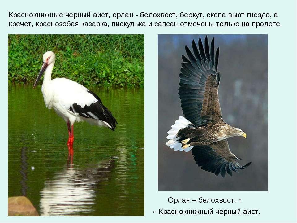 Краснокнижные черный аист, орлан - белохвост, беркут, скопа вьют гнезда, а кр...