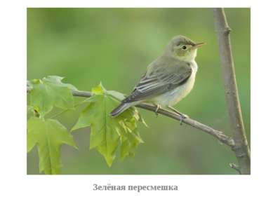 Зелёная пересмешка