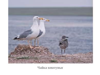 Чайка хохотунья