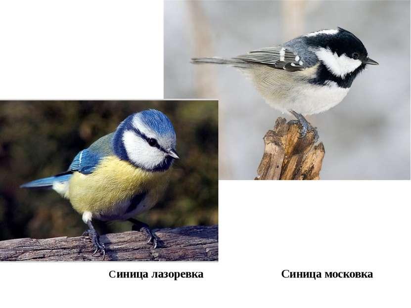 Синица лазоревка Синица московка