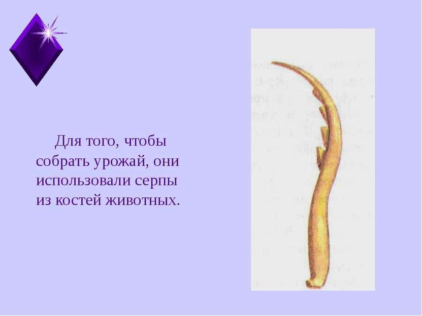 Для того, чтобы собрать урожай, они использовали серпы из костей животных.