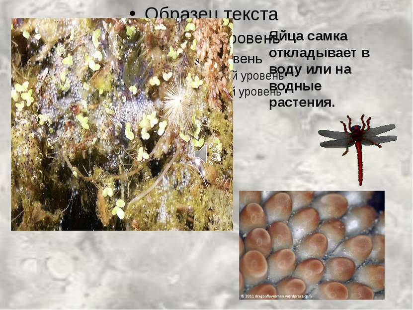 Яйца самка откладывает в воду или на водные растения.