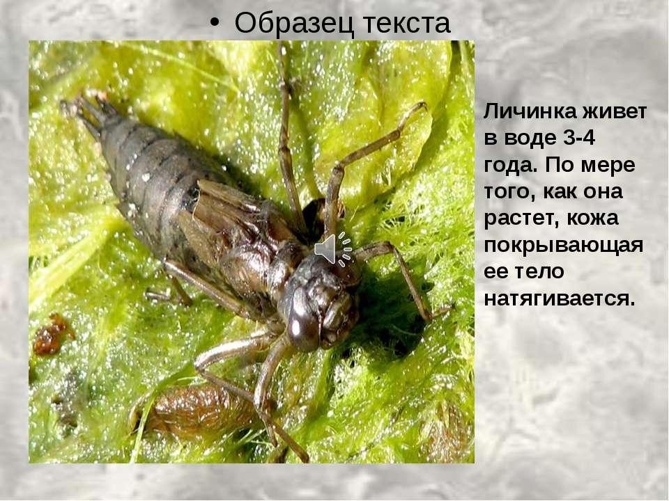 Личинка живет в воде 3-4 года. По мере того, как она растет, кожа покрывающая...