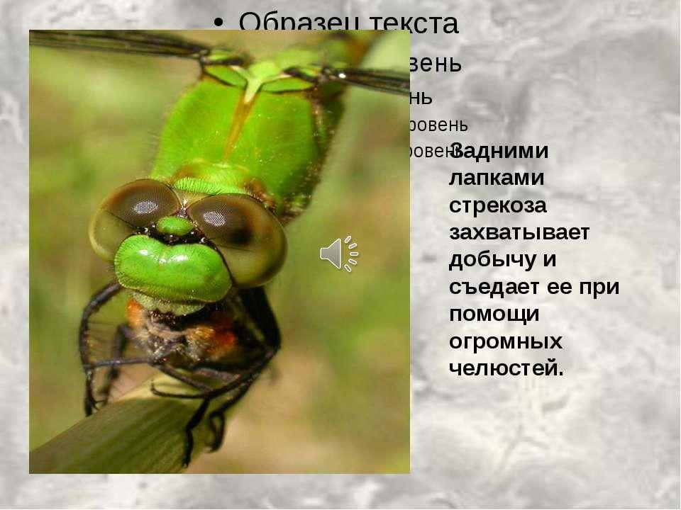 Задними лапками стрекоза захватывает добычу и съедает ее при помощи огромных ...