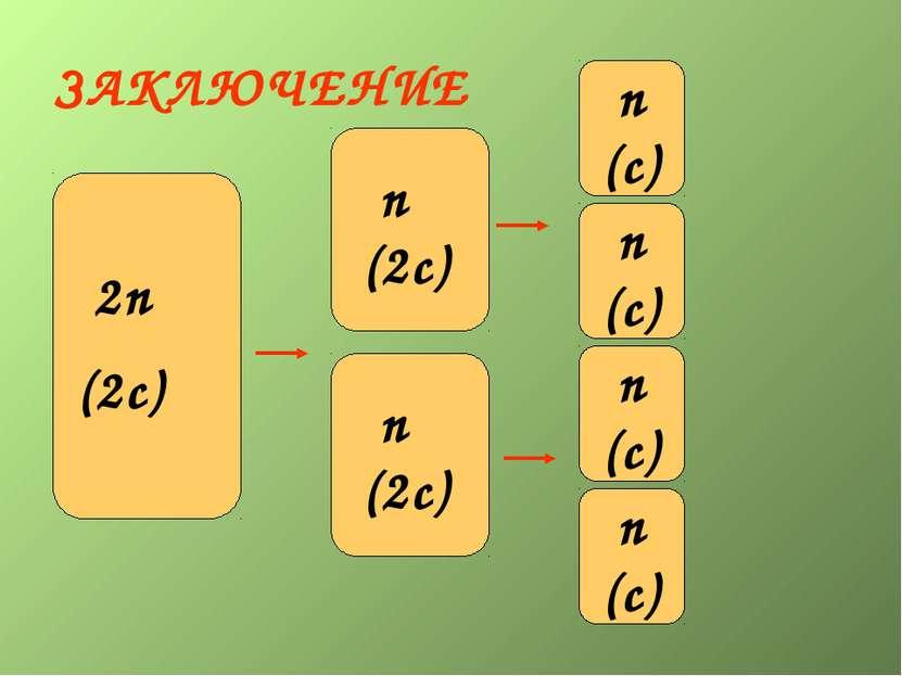 ЗАКЛЮЧЕНИЕ 2n (2c) n (2c) 2n (2c) n (2c) n (c) n (c) n (c) n (c)
