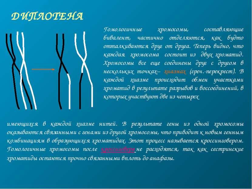 ДИПЛОТЕНА Гомологичные хромосомы, составляющие бивалент, частично отделяются,...