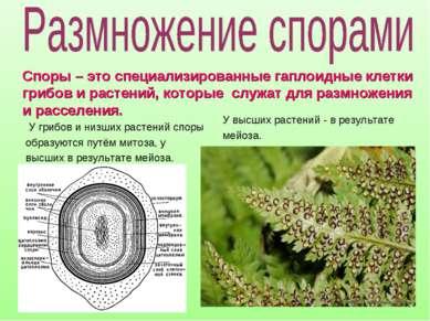 У грибов и низших растений споры образуются путём митоза, у высших в результа...