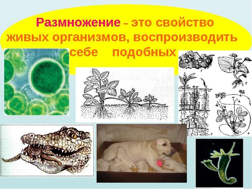 Размножение – это свойство живых организмов, воспроизводить себе подобных
