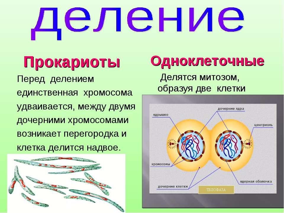 Прокариоты Перед делением единственная хромосома удваивается, между двумя доч...