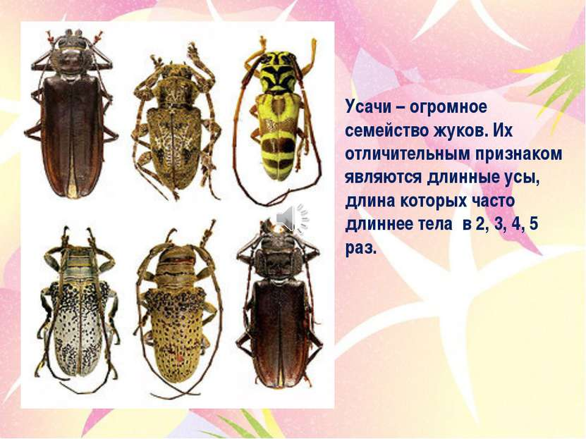 Усачи – огромное семейство жуков. Их отличительным признаком являются длинные...