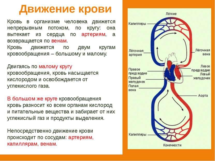 Движение крови Кровь в организме человека движется непрерывным потоком, по кр...