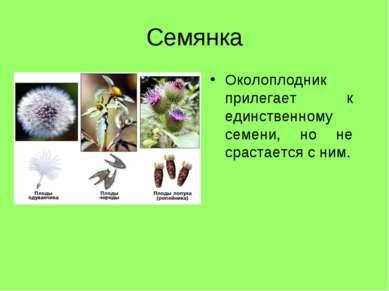Семянка Околоплодник прилегает к единственному семени, но не срастается с ним.